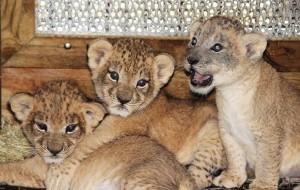 Зоопарк Майами показал первые фотографии маленьких львят