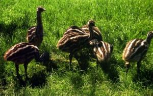 В Ленинградском зоопарке родились четыре птенца эму и восемь детенышей анаконды