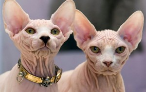 28-29 июня 2014 года Международная выставка кошек «Смоленский Позитив»!