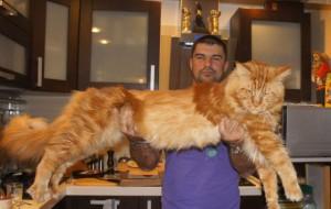 В Сокольниках пройдет выставка самых больших домашних кошек