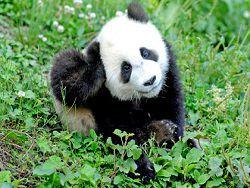 В Китае запретят есть редких животных
