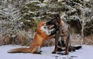 Крепкая дружба лисы и собаки