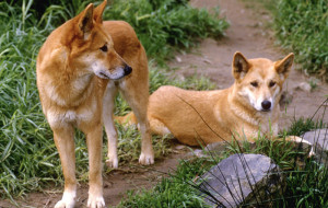 Динго (Dingo, Australian native dog, Warrigal)