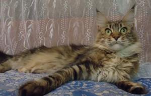 Продам кошку мейн-кун