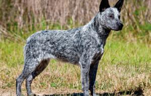 Австралийский хилер (Cattle dog, Australian queensland heeler, Blue heeler)