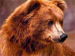 В Израиле медведю впервые сделают операцию на позвоночнике