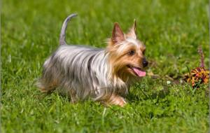 Австралийский шелковистый терьер, или силки-терьер (Australian silky terrier)