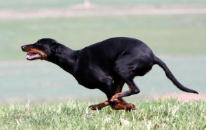 Австрийская гончая (Austrian brandlbracke, Austrian smoothhaired hound, Austrian hound, Carinthian brandlbracke)