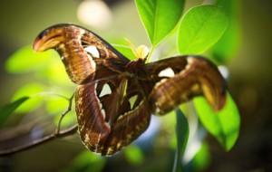 В Сибири появилась на свет гигантская тропическая бабочка