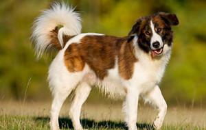 Аиди, или атласская овчарка (Aidi, Chien de I'Atlas, Atlas sheepdog, Kabyle dog)