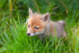 Смоляне спасли лисенка