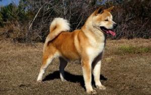 Хокайдо, или айну (Ainu Dog, Hokkaido Dog, Ainu Ken)