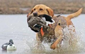 Охота с собакой