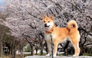 Акита-ину (Akita japanese akita, Akita jnu)