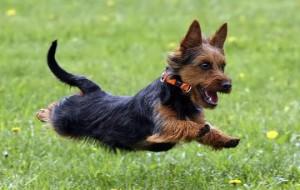Австралийский терьер (Australian Terrier)