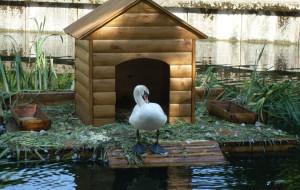 Смоленские лебеди не пострадали от урагана