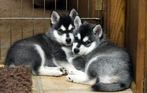 Аляскинский кли кай (Alaskan Klee Kai, Mini Husky, Miniature Alaskan Husky)
