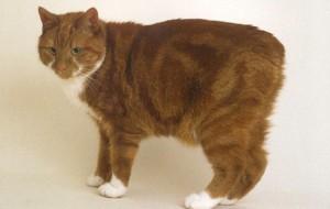 Мэнская кошка (Manx)