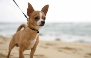 Чихуахуа названа самой разрушительной породой собак