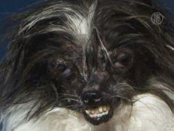 Самую уродливую собаку выбрали в США