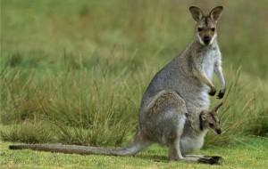 Новому зоопарку в Смоленске подарят кенгуру
