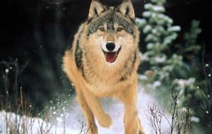 Волки общаются глазами