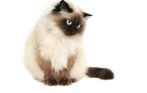 Гималайская кошка (Кхмерская)