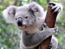 Австралийские учёные выяснили, зачем коалы обнимаются с деревьями