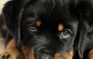 Ярцевчанка украла щенка ротвейлера в счет долга