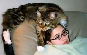 Мэйнская кошка (Мэйн-Кун)