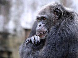 Шимпанзе стали умными благодаря генам