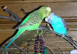 Как подобрать партнера для волнистого попугая
