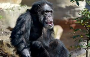 В Британии предсказали скорое вымирание шимпанзе и горилл
