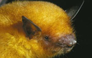 Золотая летучая мышь оказалась представителем нового вида