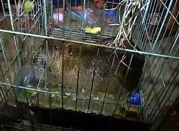 В Китае поймали бамбуковую крысу весом 5 кг