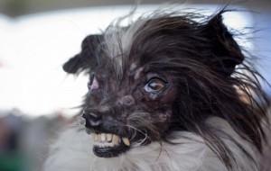 В США выбрали самую некрасивую собаку