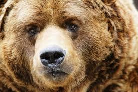 В Смоленской области установили сроки охоты на бурых медведей