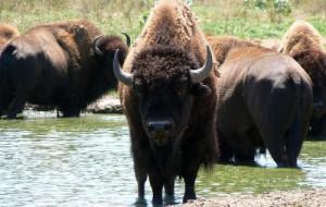 Видный ученый посетовал, что из-за бизонов на Смоленщине нельзя разводить зубров