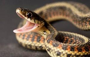 Зачем шипит змея?