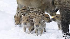 В Смоленской области застрелен кабан, инфицированный вирусом африканской чумы свиней