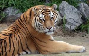 Осенью в Вязьме начнут строить питомник для львов и тигров
