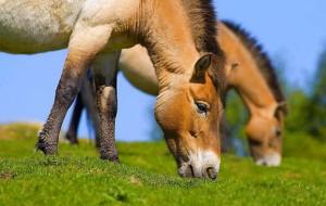 В Смоленском Поозерье поселят лошадь Пржевальского