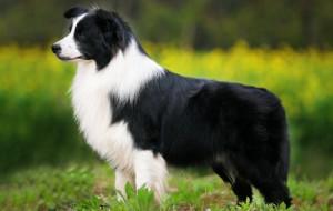 Американский рейтинг самых умных собак