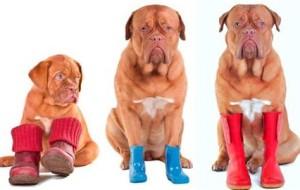Зачем нужна обувь для собак?