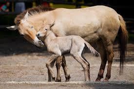 На Смоленщине появились лошади Пржевальского