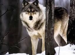 В Смоленской области в два раза увеличилась численность волков