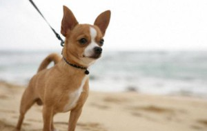 Самые популярные карликовые породы собак в мире