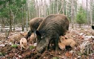 В Смоленской области осталось всего 600 кабанов