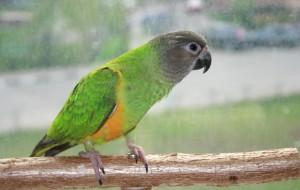 Первичное приручение попугая