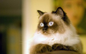 Что нужно для содержания гималайской кошки?